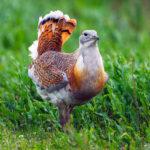 Птица дрофа
