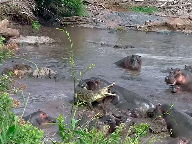 Несмотря на устрашающий вид — врагов у крокодила хватает