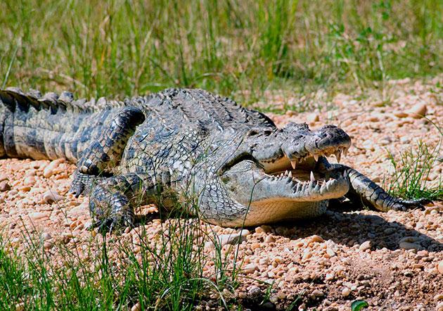 Сегодня некоторым видам крокодилов грозит угроза вымирания и они занесены в Красную Книгу