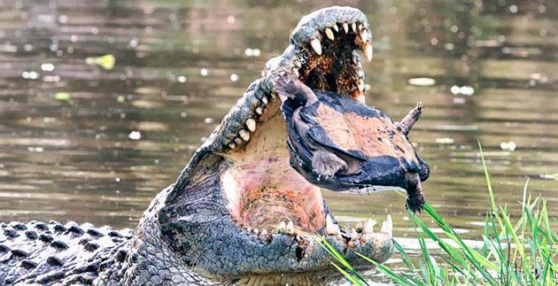 Рацион питания крокодилов обширен, но напрямую зависит от его размеров