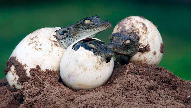 Самки крокодилов устраивают кладки на отмелях