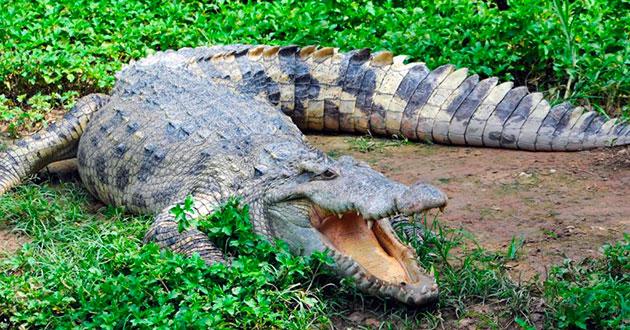 Угрозы для популяций крокодилов сегодня составляет — бесконтрольный отстрел животных