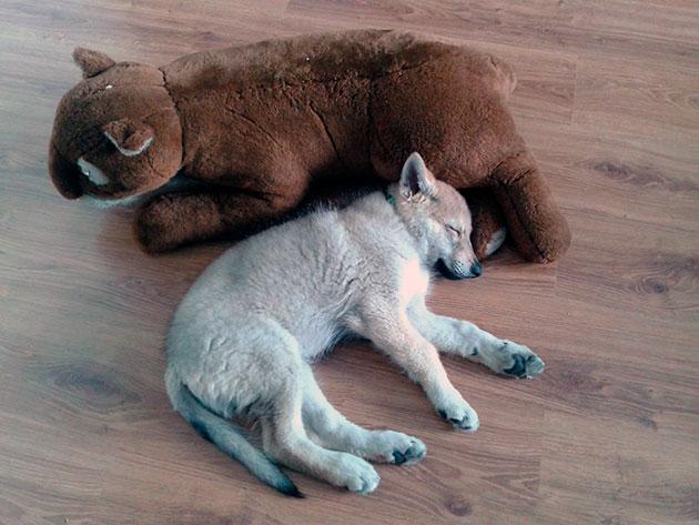 При покупке чехословацкого влчака внимательно осмотрите щенка