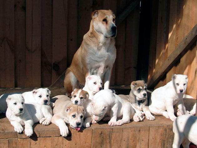 При покупке щенка алабая обратите внимание на его внешний вид и активность