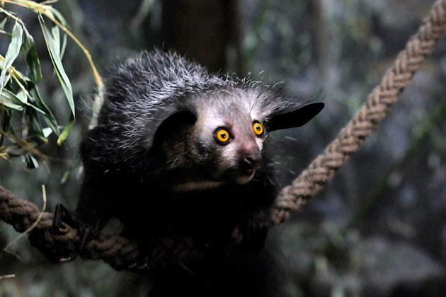 У мадагаскарской руконожки очень мало природных врагов, главный враг — человек