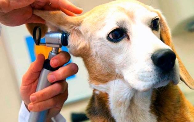 При отите, собаке как правило назначают антибиотики