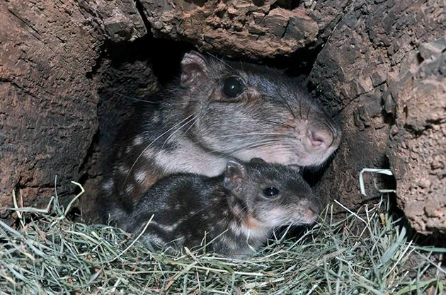 У грызунов пака, очень много врагов, поэтому они крайне осторожны