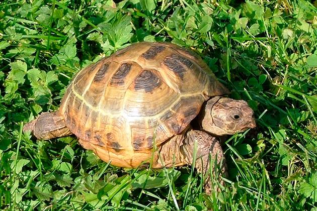 В большинстве случаев панцирь черепахи из пятидесяти пластин смешанного происхождения