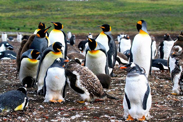Родиной всех пингвинов принято считать Антарктиду