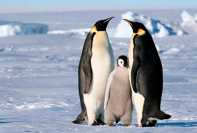 Гнездятся пингвины большими группами, а высиживают яйца как самец, так и самка