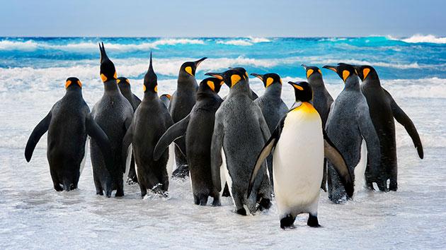 Пингвины (лат. Sрhеnisсidае)