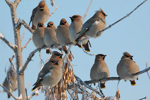Некоторые подвиды птицы свиристель занесены в Красную книгу