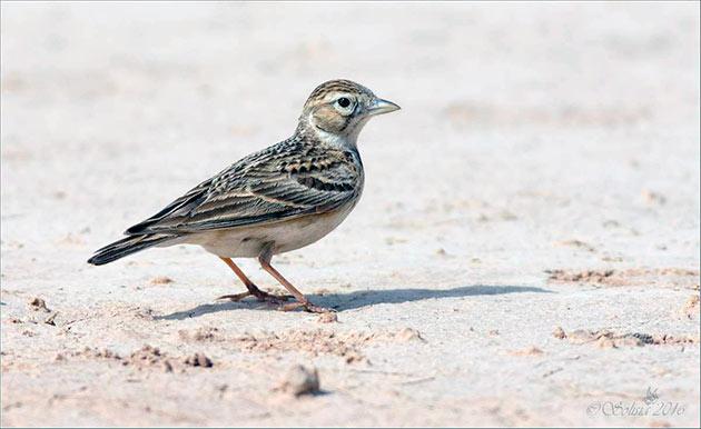 У жаворонка достаточно много врагов, именно поэтому птичка очень осторожна