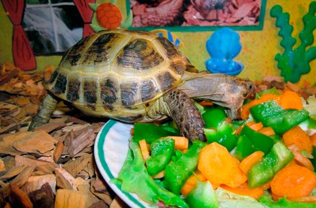 Рацион питания черепахи напрямую зависит от её вида и место обитания