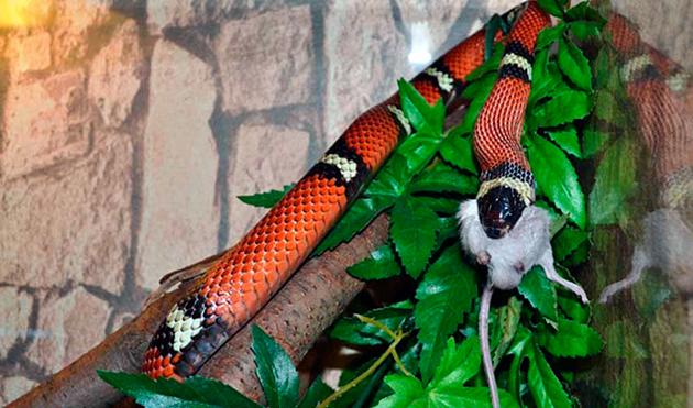 Питание змеи очень разнообразно и зависит от вида змеи