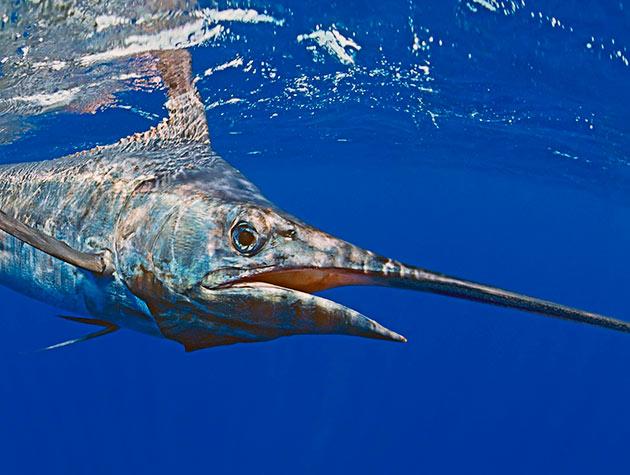 Рыба марлин живет в среднем двадцать лет