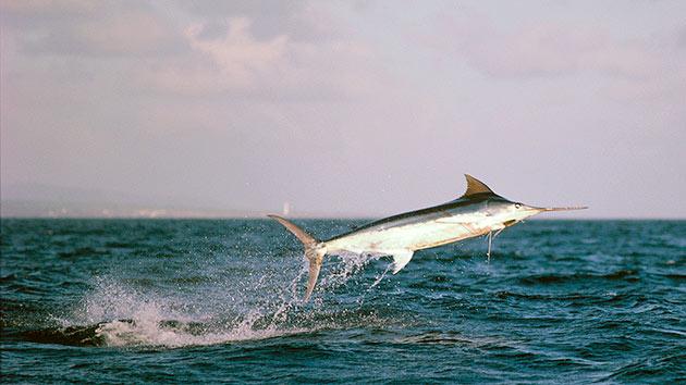 Нерест рыб марлин зависит от региона их обитания