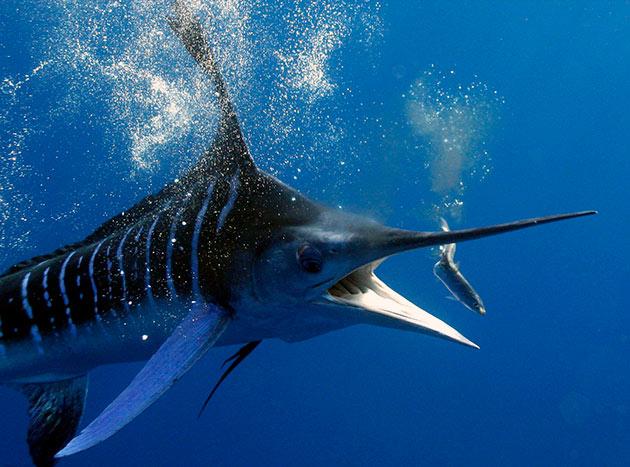 Популяция рыб марлин сокращается быстро из-за активного отлова, поэтому рыба была внесена в Красную книгу