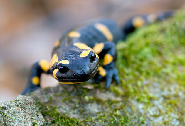 Саламандры (Sаlаmаndrа)