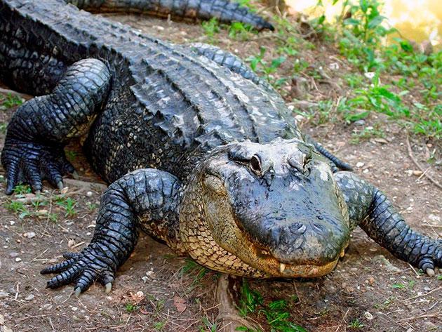 Некоторые крокодилы в виду физиологии могут доживать до 120 лет