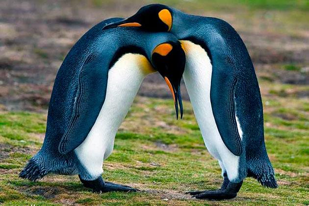 В среднем пингвины живут от 15 до 25 лет