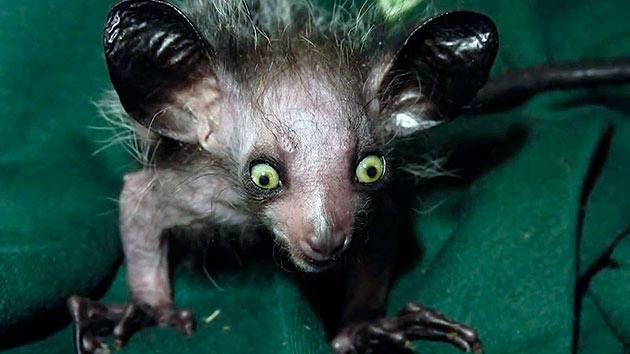 Мадагаскарские руконожки живут не более 10 лет