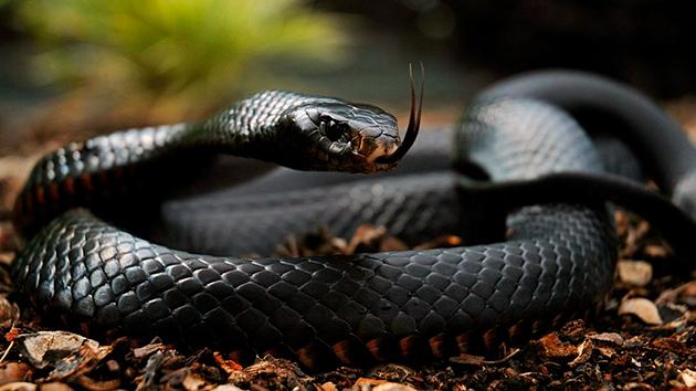 Долгожителями среди змей считаются питоны способные прожить до ста лет