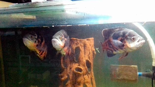 При содержание астронотусов в аквариуме, поддерживайте температуру воды в приделах 23-27 градусов по Цельсию