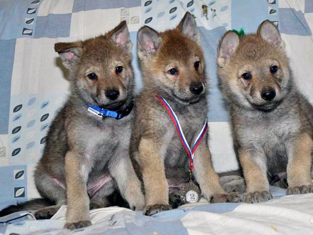 Чехословацкая волчья собака крайне неприхотлива в содержание