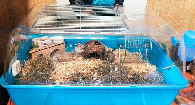 Для содержания песчанок подойдет аквариум или террариум, минимум 10 литров