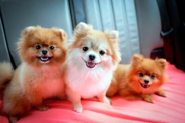 Померанского шпиц одна из самых игривых и активных собачек