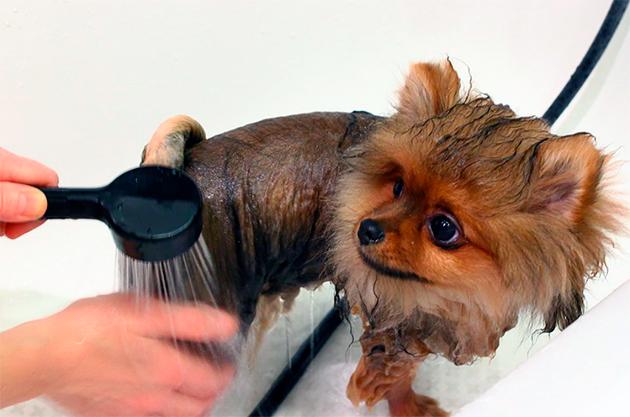 При мытье шпица вкладывайте вату в уши, что бы у собаке не было с ними в последующем проблем