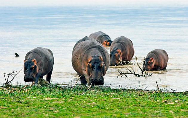 Науке известно около шести видов бегемотов, некоторые из которых уже вымерли