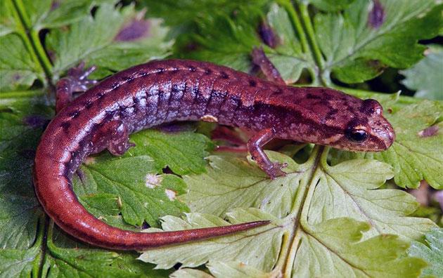 Сегодня саламандра насчитывает не более семи видов