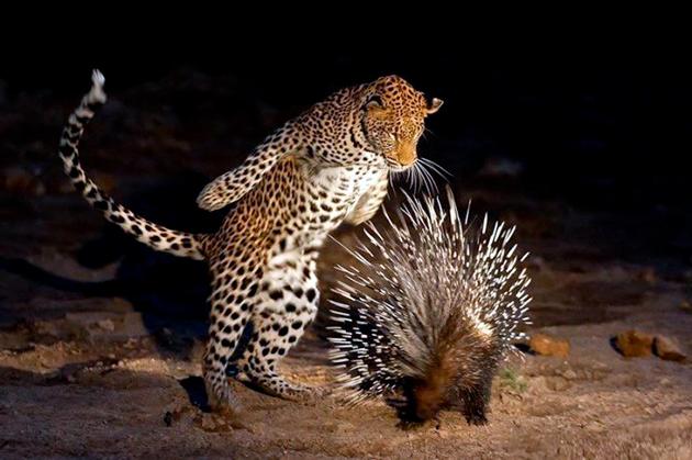 В дикой природе у дикобраза мало врагов, так как их иголки могут отпугнуть даже самого крупного врага