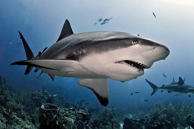Несмотря на свой устрашающий вид, у акул хватает природных врагов