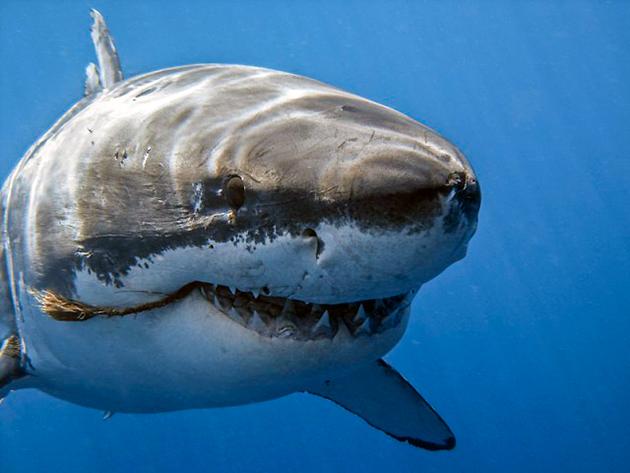 Вопреки многим мнениям акулы не всегда ведут одиночный образ жизни, бывает, что они сбиваются в большие стаи
