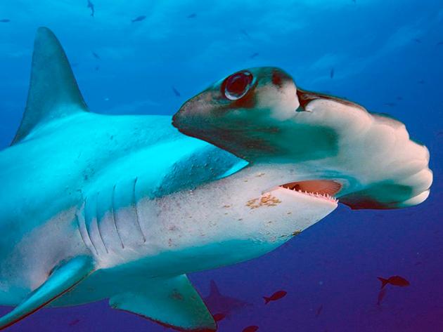 У акул отвратительное зрение, но вод другие органы чувств, работают на пять с плюсом