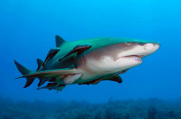 Акулы относятся к яйцекладущим, яйцеживородящим, и живородящим рыбами