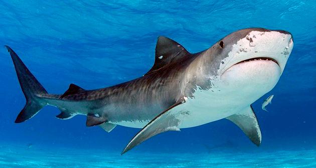 Акулы (лат. Selachii)