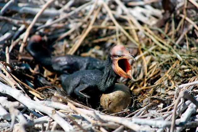 Некоторые виды бакланов относятся к исчезающим видам