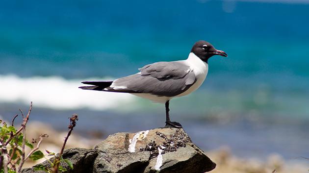 Чайка при выборе места обитания выбирает непосредственную близость с водоемом