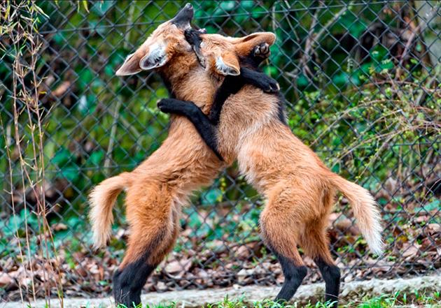 Свое потомство гривистые волки воспитывают совместно