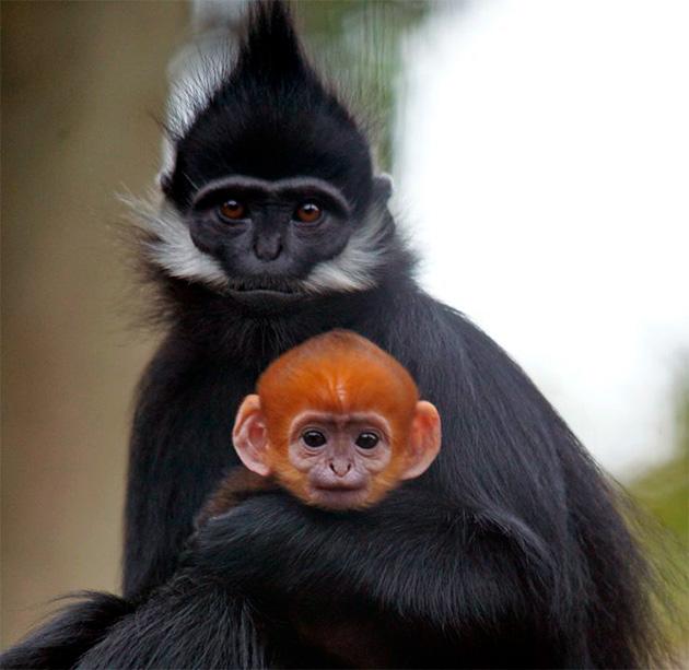 На сегодняшний день многие виды обезьян занесены в международную красную книгу
