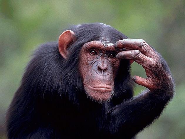 Интеллектуалом среди обезьян принято считать шимпанзе