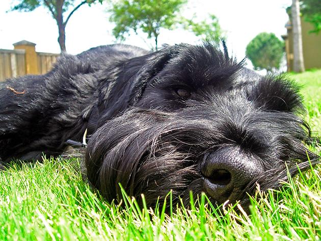К допуску к выставкам ризеншнауцерам предъявляют серьезные требования, поэтому учтите это при покупке щенка