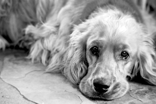 """При отравление собаки, у неё может появиться чувство """"потерянности"""""""