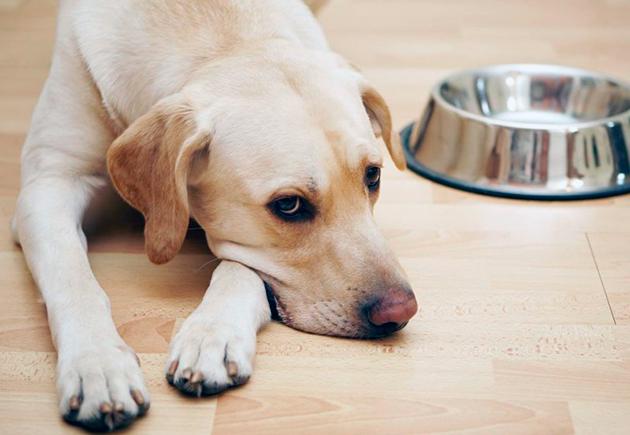 Диета при отравление у собаки должна быть легкой и легкоусвояемой