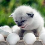 Можно ли кошкам давать яйца