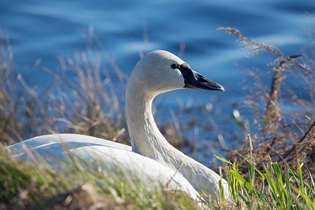 Ареалом обитания лебедей можно считать — умеренный климат и немногие виды живут в тропиках